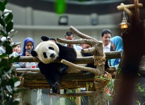 """出生在馬來西亞的大熊貓""""暖暖""""將被送回中國"""